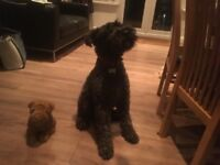 Kerry blue terrier 5 years old lovely family dog full papers