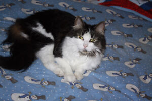 Lost Medium/Long Grey and White Cat 10km south of Vernon