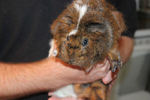 Sweet Guinea Pig and Cage