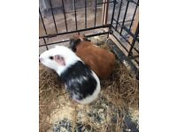 2 baby female guinea pigs