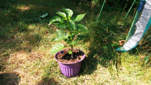 Plant de piment fort Chocolate Borg 9