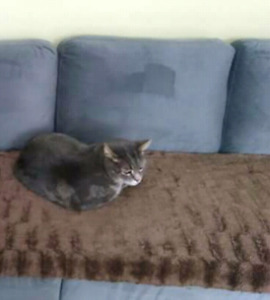 Adult Male Cat - Scampy
