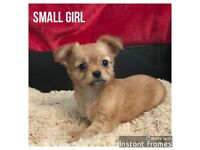 Purebred Chihuahua Puppies