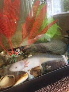 Axolotls - Aka Mexican Walking fish I have 3 for sale