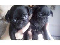 Stunning pug puppies