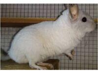 White female Chinchilla
