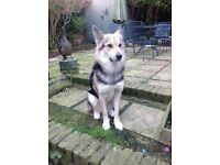 Female 3yr old husky x in need of rehoming
