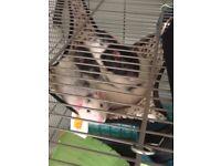 Male Rats Needing Good Home - Free