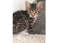 Two beautiful playful Tabby kittens for sale