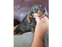 teckle puppies for sale (wire haired dachshunds)