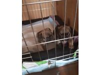 Gorgeous KC Registered Sable French Bulldogs For Sale