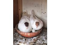 Afghan Pigeon for Sale