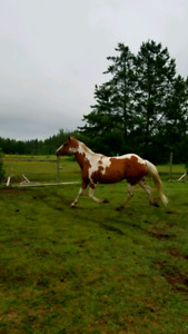 Grade Paint gelding. 6 years old. Project. Reduced NEED GONE