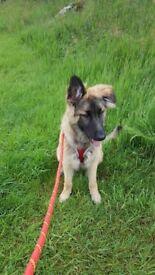 8 month bitch german shepherd