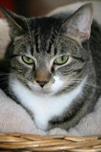 """Adult Male Cat - Tabby (Gray): """"Diego"""""""