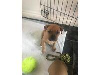 Staff cross pups