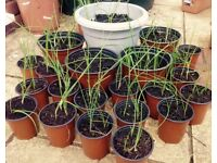 Home-Grown Spring Onion Plants