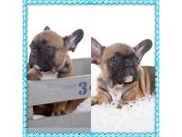 Quality KC reg French Bulldog puppies