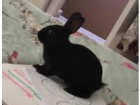 12week old doe bunny