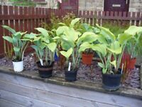 Hosta plants plain leaves