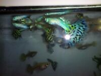 Pair of Snakeskin guppies. Unusual. 1 male and 1 female. Pretty and easy to look after, bargain