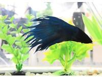 Betta fish( crown tail)