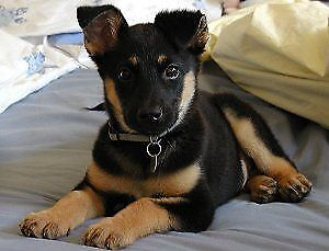 Looking for German shepherd mix or a rotti mix pup