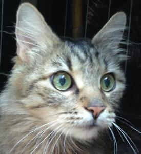 "Adult Male Cat - Tabby (Brown): ""Richard"""