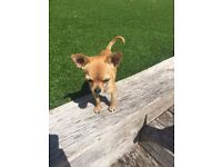 Chihuahua Boy 8 Months Old