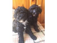 Gorgeous Poodle Puppies for Sale