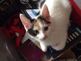 Tricolour kitten for sale
