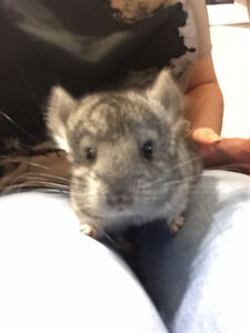 two months old Chinchilla twins need a home