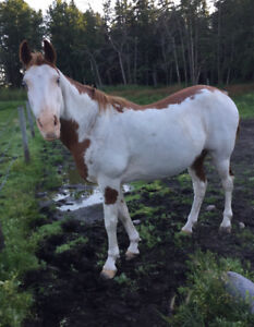 16 year old Paint Gelding Horse For Sale