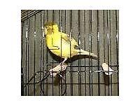 2017 fife fancy canarys