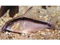 Corydoras ARCUATUS C020 tropical fish Cory catfish