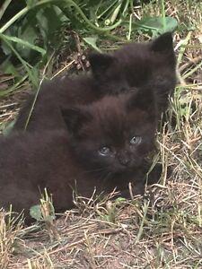 2 Tortoiseshell Kittens - Free to a good home!