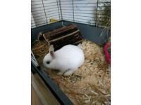 Netherland dwarf white baby rabbit 14 wks