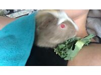 9 week old baby male guinea pig