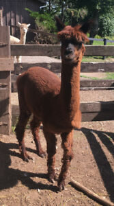 Male Alpaca for sale
