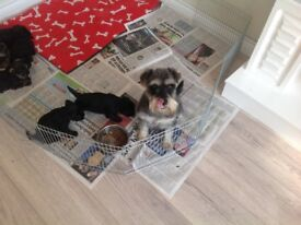 Mini schnauzer pups for sale kc reg , puppy insured , vet checked , wormed , food and fact sheet .