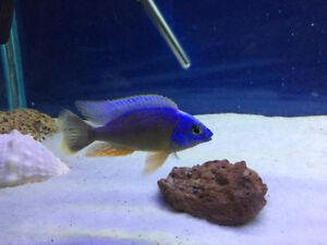 Cichlid clearence