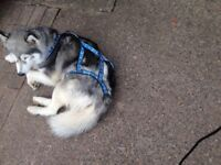 Huskies harness