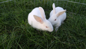 Two New zealand white bunnies