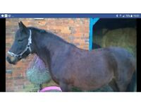 Bay New forest Mare for sale. 14hh
