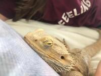 Bearded dragon male lizard with full set up