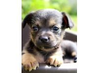 Adorable chihuahua X boarder terrier puppies
