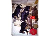 KC Reg Doberman Puppies For Sale (offers considered)