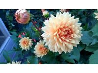 Dahlia Flowers With Tubers