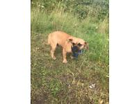 French bulldog cross pug