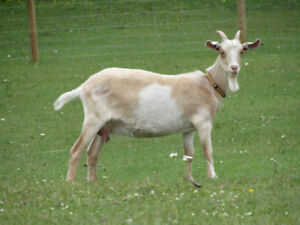 Milk goat for sale